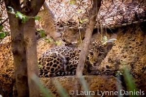 Sasha - the baby Jaguar
