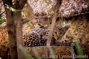 Sasha - the baby Jaguar