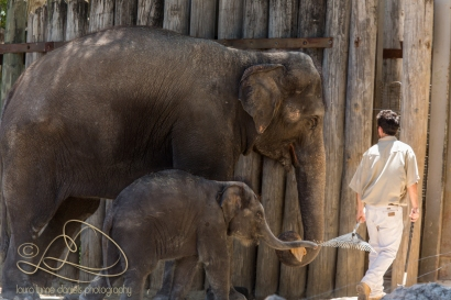 Bowie is following the zookeeper and holding the rake with his trunk